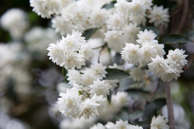 Gambar bunga melati raja