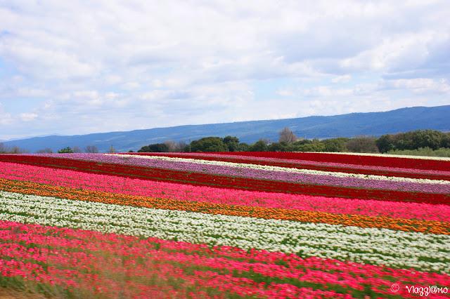 Coltivazione di tulipani in Provenza