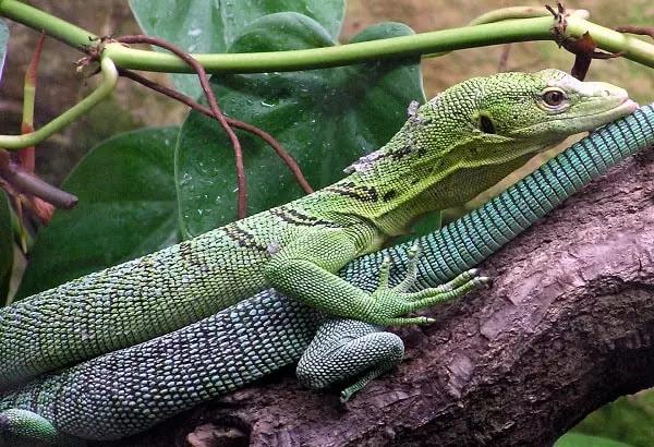 gambar reptil biawak hijau