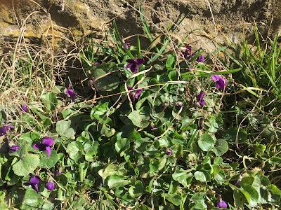 Viola oderata