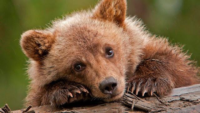 Лесник спас медвежонка, а тот вернулся через 5 лет с необычной просьбой