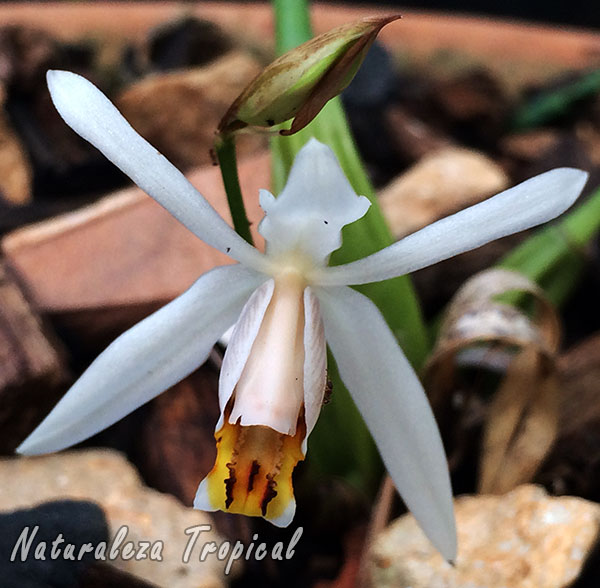 Flor de la orquídea Coelogyne viscosa o Coelogyne graminifolia