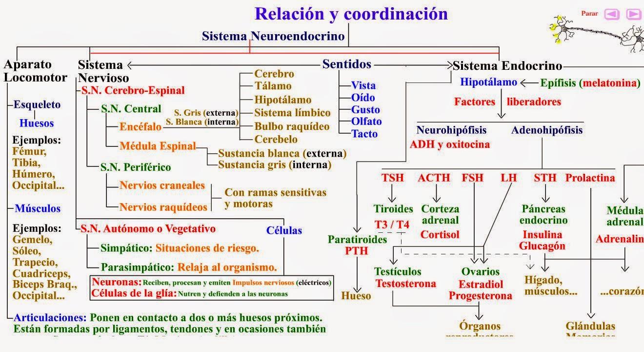 biologia2bachcamp: 3º ESO. TEMA 9. EL SISTEMA NERVIOSO