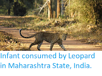 https://sciencythoughts.blogspot.com/2019/06/infant-consumed-by-leopard-in.html