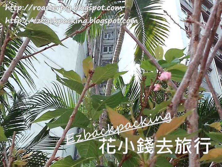 鰂魚涌公園櫻花2021