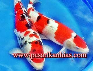Ikan Hias Untuk Aquarium Air Tawar Mini