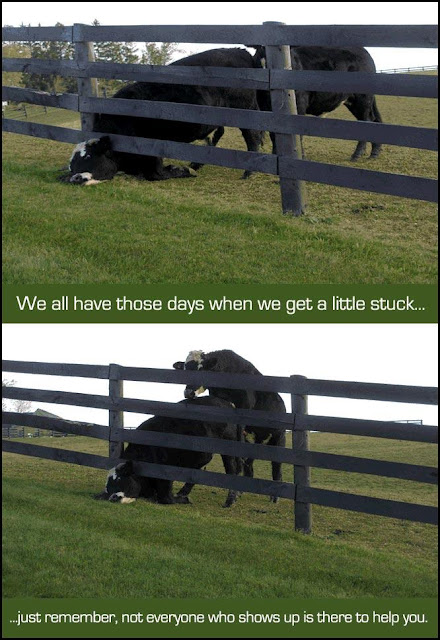 Schlechte Erfahrung - Kuh steckt im Zaun fest lustiger Spruch