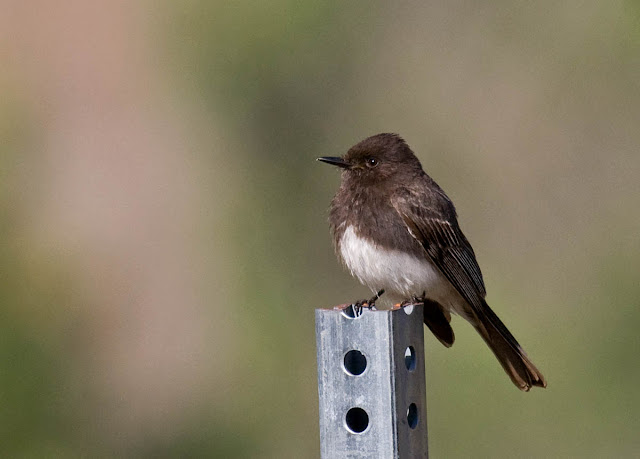 San Diego, California Backyard bird: Black Phoebe