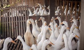 Ternak-Bebek-Peking-Jawa-Timur