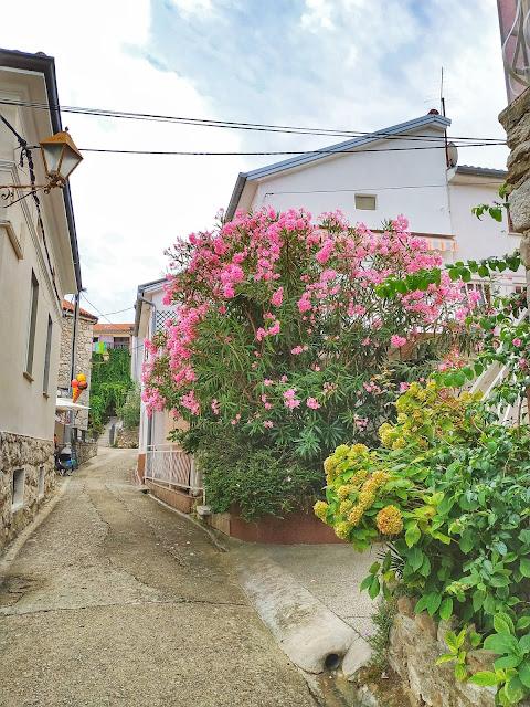 kwitnące oleandry na ulicach w Chorwacji