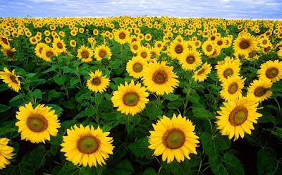 Hoa hướng dương đẹp nhất thế giới 25