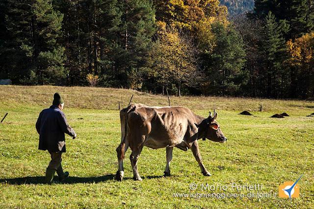 pastore e mucca in valle Vigezzo