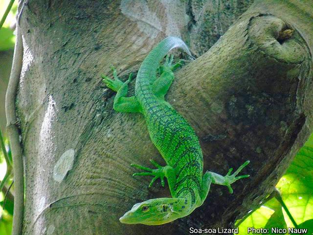 Green soa-soa lizard