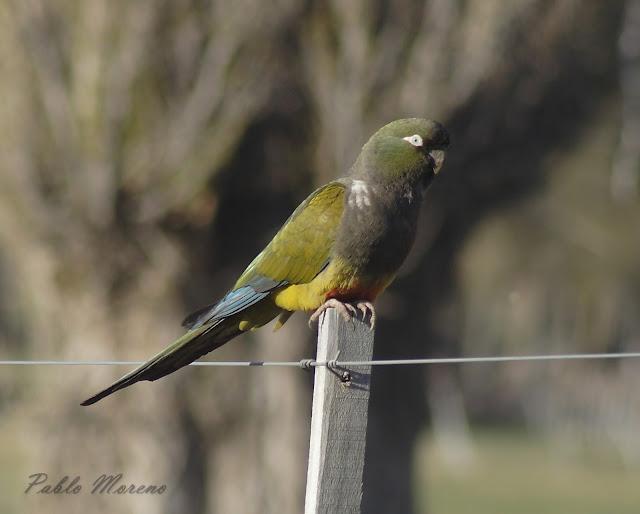 "alt=""loro barranquero,aves de Mendoza,Cyanoliseus patagonus)"