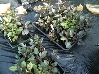 dahlias, gardening, hardening off