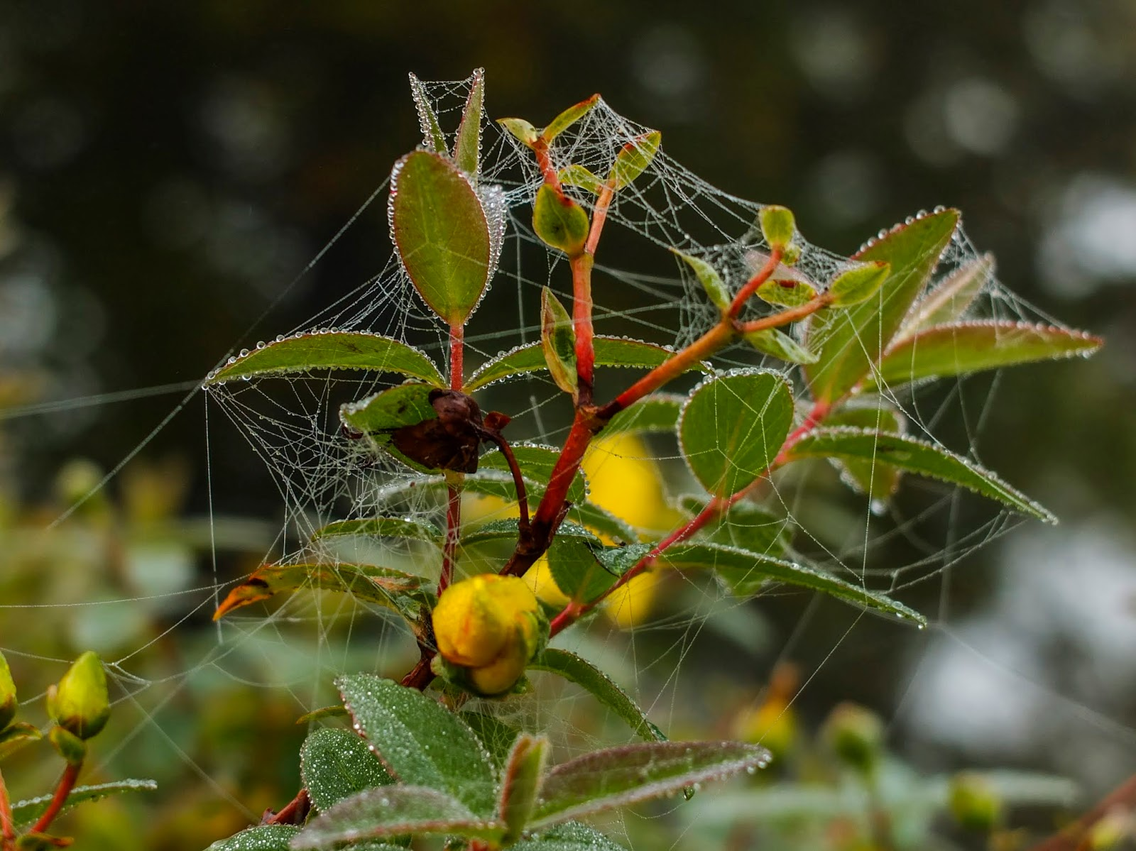 Leaves covered in spider web silk.