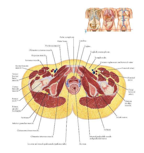 Female Pelvis: Cross Section of Vagina and Urethra Anatomy
