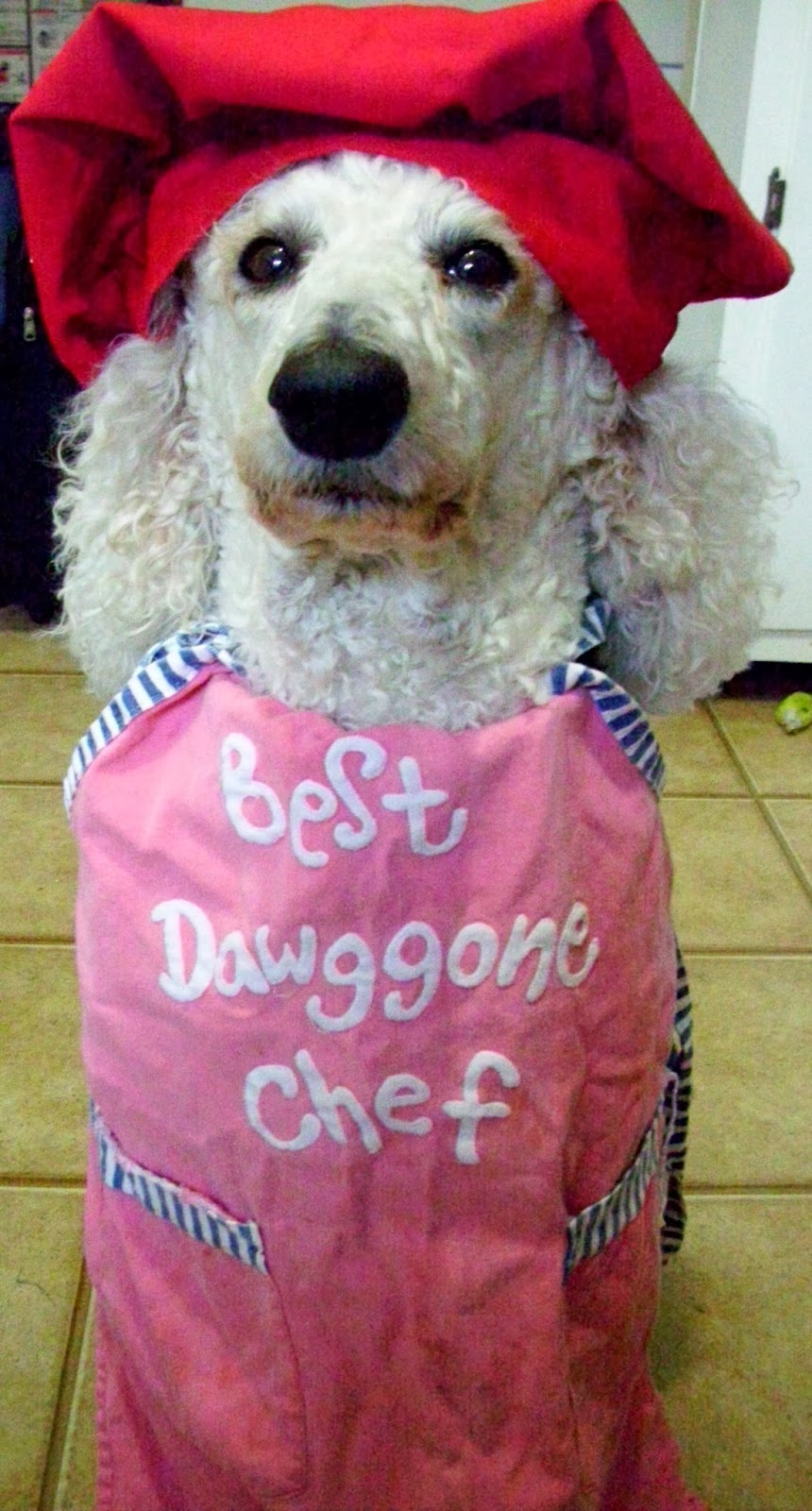 Poodle in apron