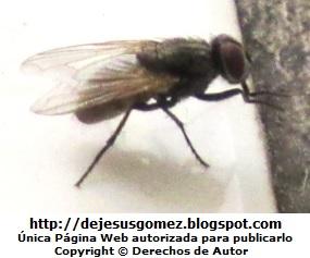 Foto de una mosca de perfil de Jesus Gómez