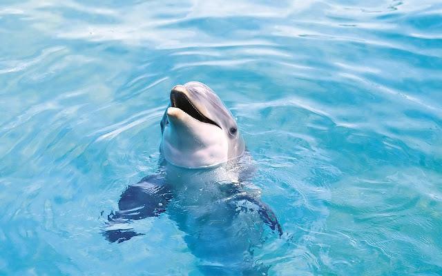 Dolfijn met zijn kop uit het water