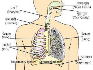 मानव श्वसन तंत्र