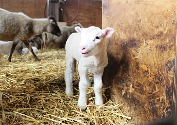 Lammetjes knuffelen: een lijst met schapenboerderijen door heel Nederland