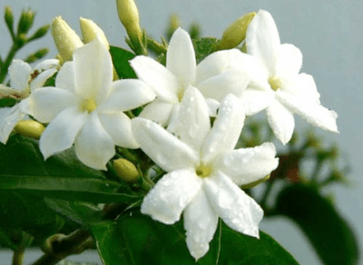 2 . Tanaman Bunga Melati