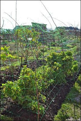 Brassica cage