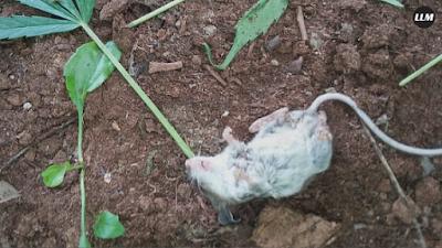 Kecanduan Ganja, Tikus ini Harus Direhabilitasi