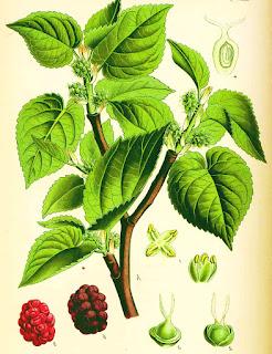 dwarf mulberry tree