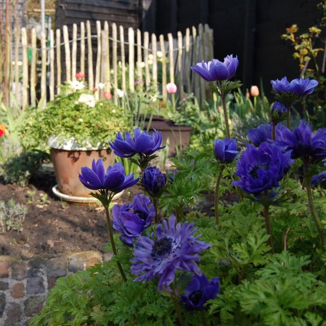 bloembollen. anemonen in de voorjaarstuin
