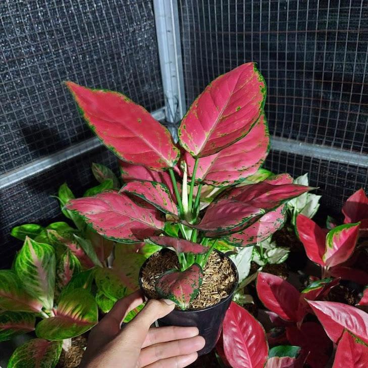 aglonema red anjamani DAUN 7 8 Sumatra Selatan