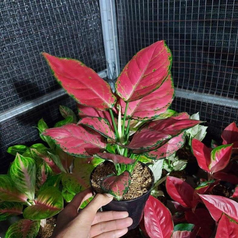 aglonema red anjamani DAUN 7 8 Jawa Timur