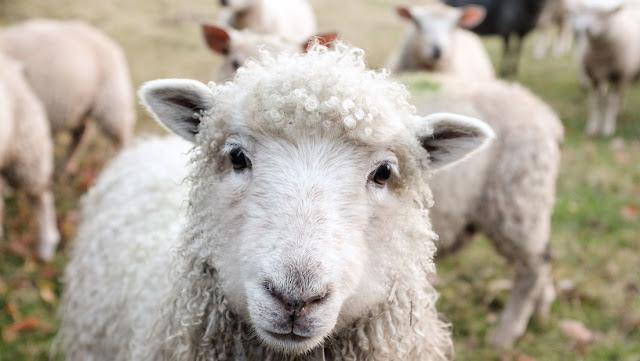 Policías paganos británicos investigan los siniestros asesinatos de ovejas marcadas con pentagramas