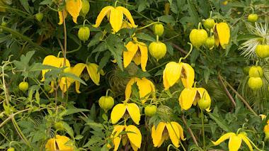 Clemátides también para el otoño (Clematis de floración tardía)