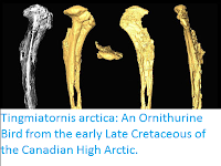 http://sciencythoughts.blogspot.co.uk/2017/01/tingmiatornis-arctica-ornithurine-bird.html