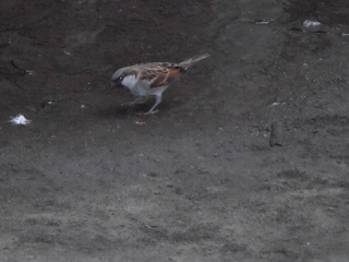 Picture of Sparrow bird