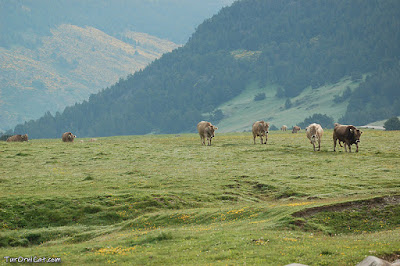 A l'estiu el Pla de Beret s'omple de vaques i cavalls