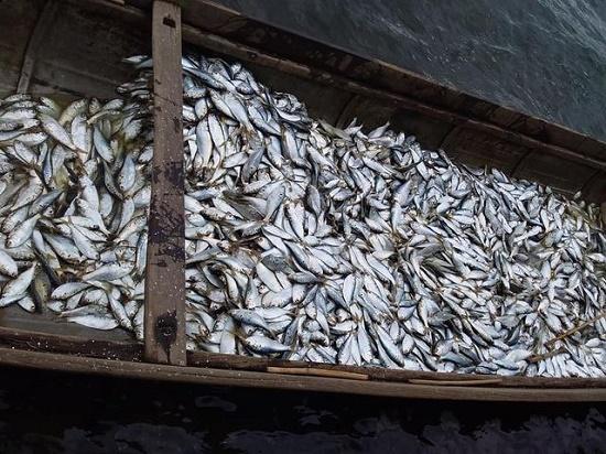 Ngư dân Quảng Trị trúng mẻ cá mòi lớn trên sông Thạch Hãn