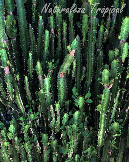 Vista de los tallos con hojas del Árbol africano de Leche, Euphorbia trigona