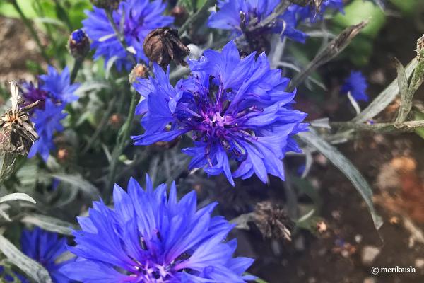 Ruiskukka, sininen luonnonkukka