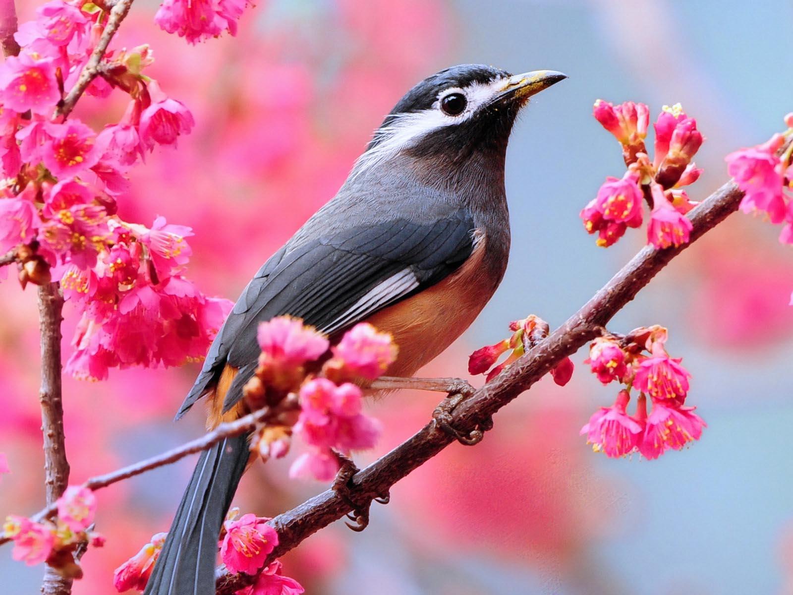 Birds Wallpaper: Love Birds Desktop Wallpapers HD