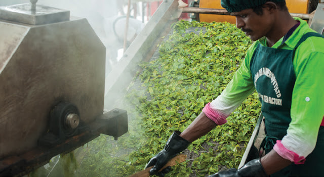 About green tea processing