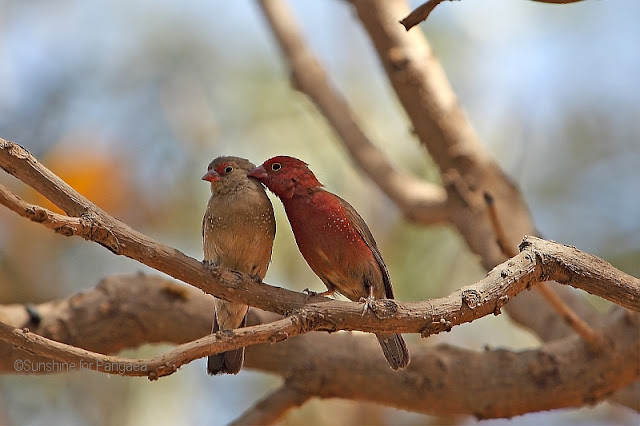 red-billed firefinch or Senegal firefinch (Lagonosticta senegala)