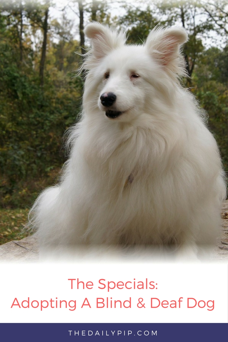 Adopting and training a double merle, blind and deaf dog