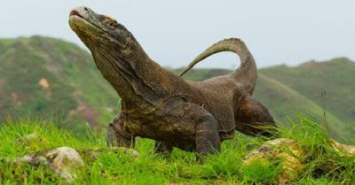 Komodo Varanus komodoensis - berbagaireviews.com