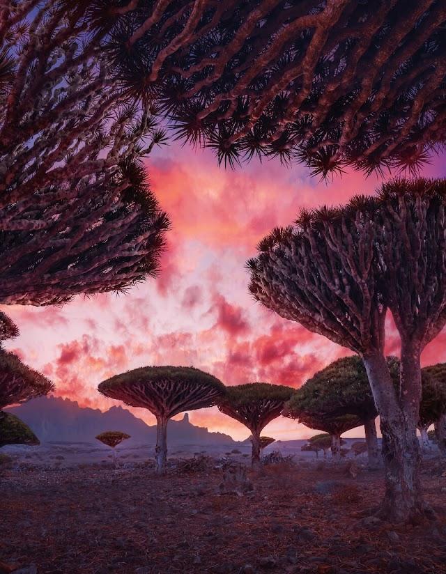 The alien beauty of dragon blood tree island