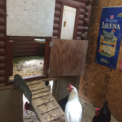 Douglas 4 H Chickquest