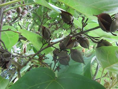 Frutti Maturi Aperti Paulownia tomentosa