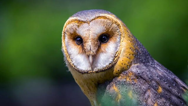 Barn Owl Presentation, Biology and Ecology